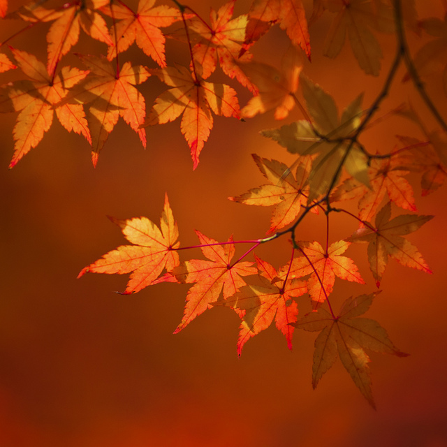 MELLOW AUTUMN LEAVES by ajpscs
